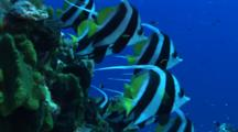 Group Of Bannerfish With School Of Jackfish In The Background