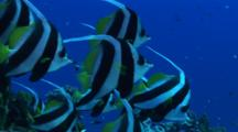 Group Of Bannerfish, Close