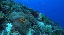 Camera Approaches Clownfish In Anemone