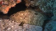 One-Blotch Grouper Rests On Reef,Flees Into Overhang