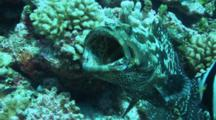 Marbled Grouper Opens Mouth