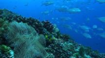 Clown Fish In Anemone, School Bluefin Trevally Behind