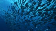 Circling Large Group Of Bigeye Jackfish Explodes