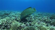 Camera Moves Towards Hunting  Napoleaon Wrasse