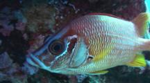 Close Sabre Squirrelfish