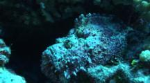 Stonefish Resting On Reef