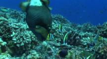 Camera Travels Towards Titan Triggerfish Digging In Corals To Feed