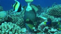 Titan Triggerfish Digging In Corals To Feed