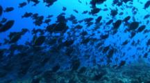 Camera Travels Towards A Large Group Of Redtoothed Triggerfish Mating, Spawning, Breeding