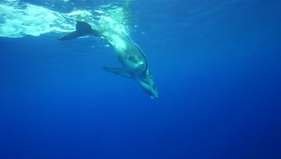 Humpback whale calf swims down to the mother