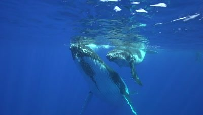 humpback whale mother with playful baby
