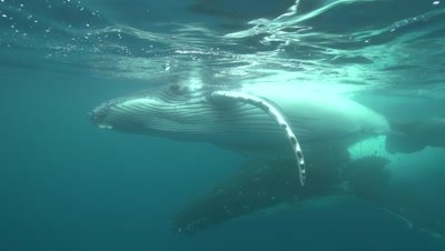 humpback whale mother with playful calf