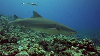Two lemon sharks cruising the reef