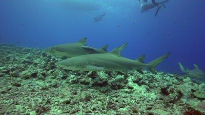 lemon sharks cruising the reef