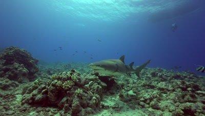 lemon shark is cruising the reef