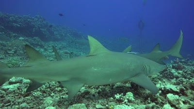 lemon sharks on the reef