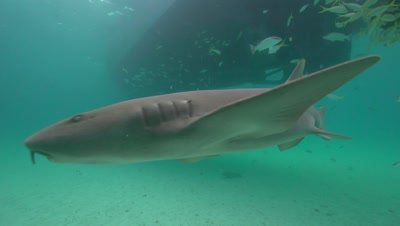 nurse shark approaching