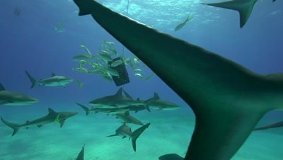 caribbean reef sharks checking on baitbox