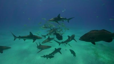 caribbean reef sharks checking out a baitbox