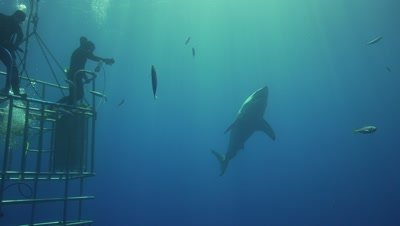 great white shark circeling divers on a cage
