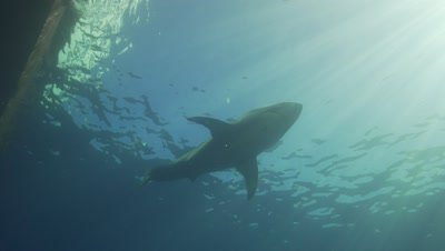 great white shark in backlight