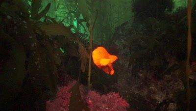 garibaldi damselfish in the kelp forest