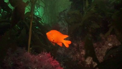 garibaldi damselfish in the kelp forest