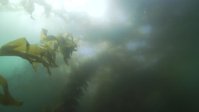 camera turns around its axis in a kelp forest
