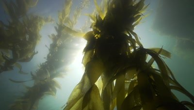 camera travels through a kelp forest