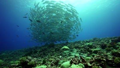bigeye jackfish hover over a reef