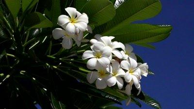 tropical flower frangipani shot against the blue sky