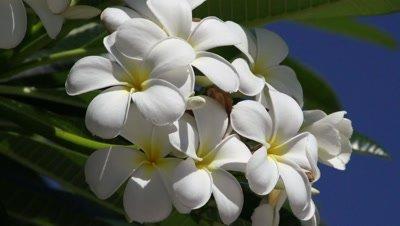 tropical flower, frangipani shot against the blue sky