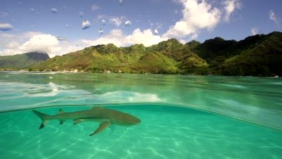 blacktip reef sharks,split shot