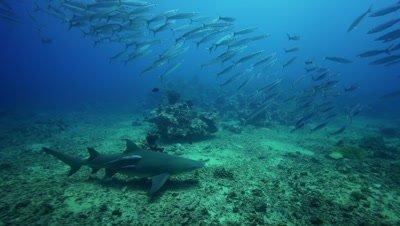 lemon shark and school of barracudas
