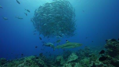 bigeye jackfish hover above the reef