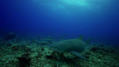 lemon shark approaches