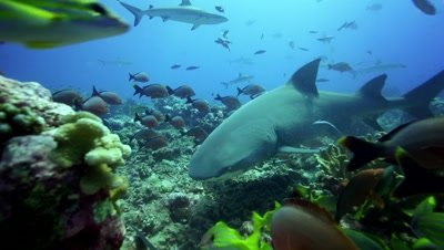 lemon shark approaches,searching for food