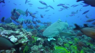 lemon shark feeding