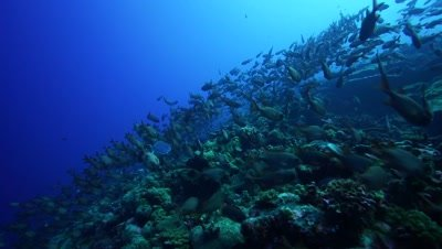 camera travels through a school of soldier fish