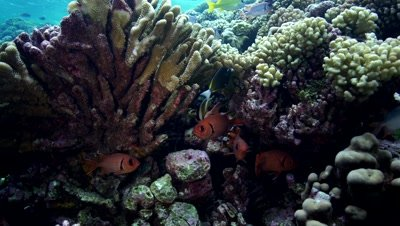 soldier fish on the reef