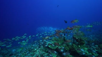 camera travels towards a school of soldier and other tropical fish