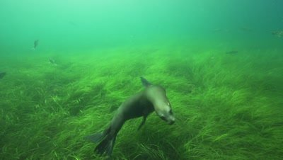 sealions playing in front of the camera,slow motion shot