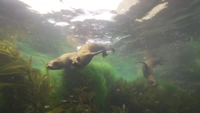 young sealions playing in shallow water