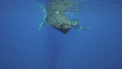 humpback whales, mother and calf at the surface, close up