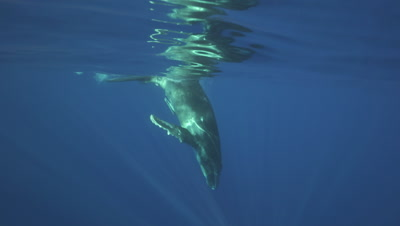 humpback whale calf swimming from the surface down to it#s mother