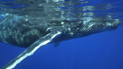 young humpback whale approaches at the surface, and dives down to it's mother, close up shot