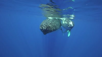 humpback whale mother and calf at the surface, close up