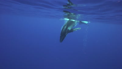 Young humpback whale dives down to its mother
