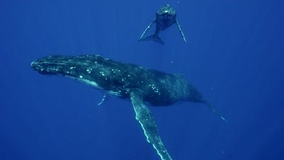 humpback whales, mother and babyin clear blue water