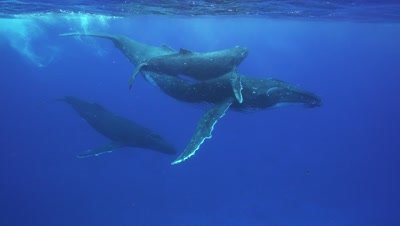 humpback whales, mother, baby and male escort dancing